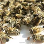 Подмор пчелиный: лечебные свойства